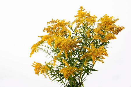 goldenrod: Goldenrod, blossoms, white background, medicinal plant