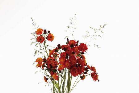 hawkweed: Orange hawkweed against white background,close-up