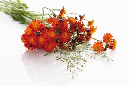 hawkweed: Orange hawkweed on white background,close-up