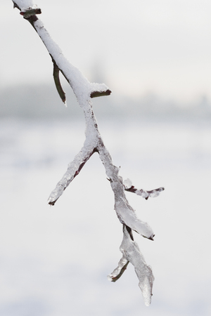 twig: Frost-covered twig