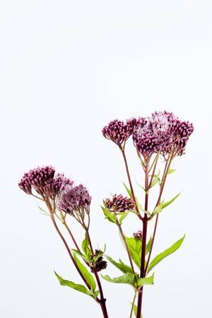 medicinal plant: Hemp-agrimony, medicinal plant