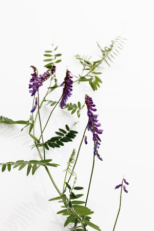 tufted: Tufted vetch on white background,close-up Stock Photo