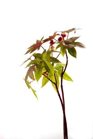 medical  plant: Castor oil plant, Ricinus communis, medical plant Foto de archivo