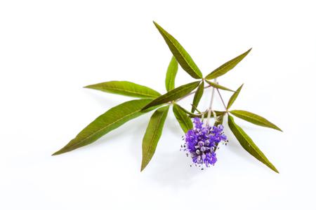 Mönchspfeffer, Mönchspfeffer, Arzneipflanze