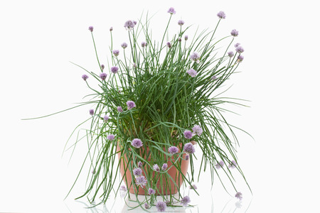 herbs white background: Close up of blooming chive plant in pot against white background