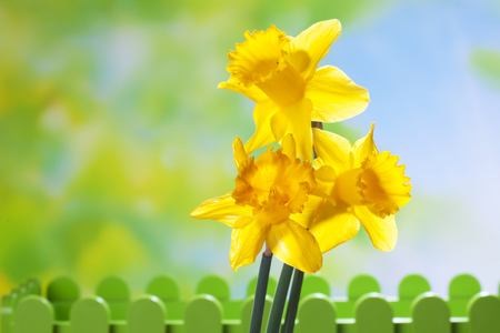 copy  space: Yellow daffodils, copy space