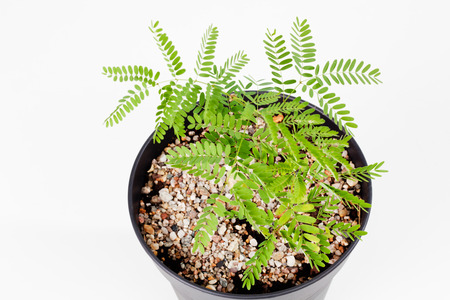 elevated view: Peacock Flower seedlings in pot against white background, elevated view