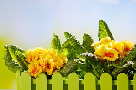 primroses: Yellow primroses, copy space