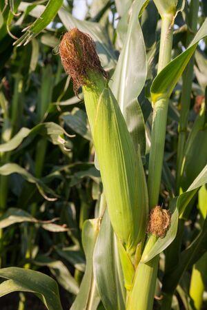 zea mays: Germany, maizefield, corn cob
