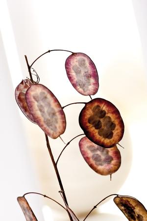 honesty: Annual honesty (Lunaria annua), close up