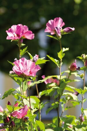 medium group of objects: Hollyhock (Malva) close-up Stock Photo