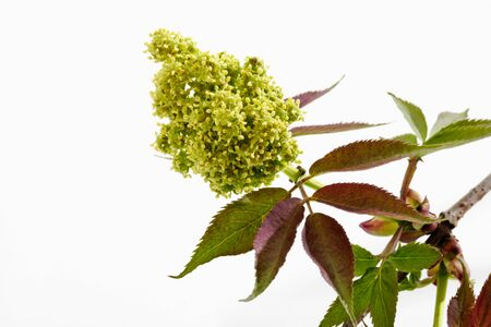 chartreuse: Twig of Elder with blossom buds
