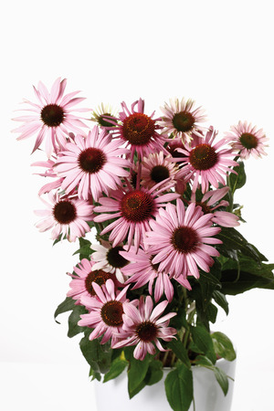 echinacea purpurea: Coneflowers (Echinacea purpurea) in flower pot
