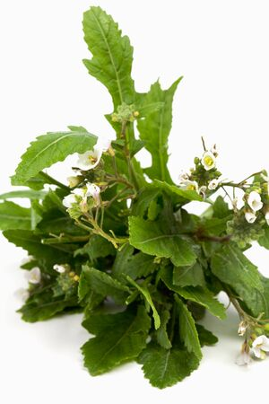 roquette: Bundle of white wall-rocket on white background