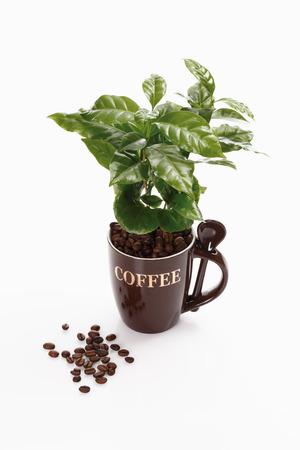 planta de cafe: planta de café contra el fondo blanco, primer plano