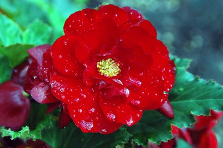 Red Begonia after the rain Stock fotó