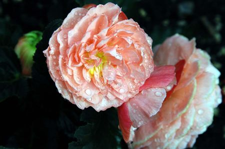 Pink begonia after the rain