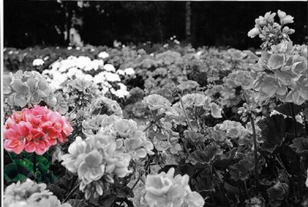 Pink geranuim in a black and white photo