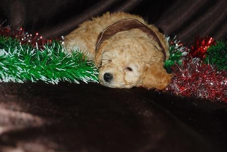 Dog , New Year