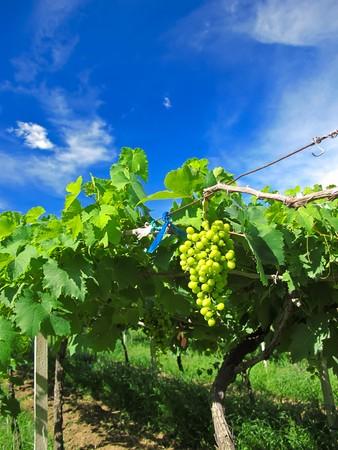 Druiven farm  Stockfoto