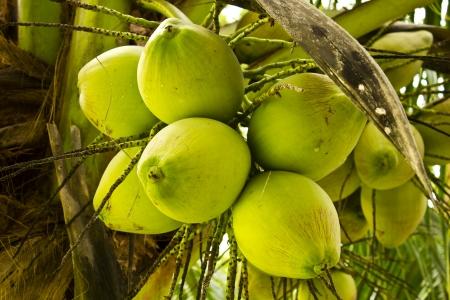Coconut photo