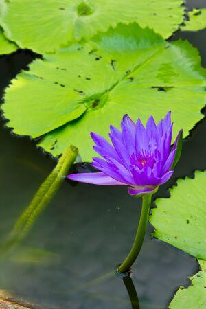 The violet lotus photo
