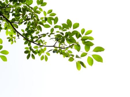 groene bladeren op witte achtergrond Stockfoto