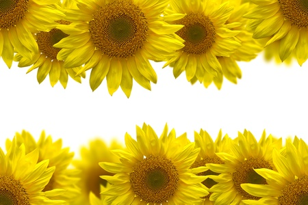 sunflower for background photo