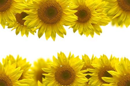 sunflower for background