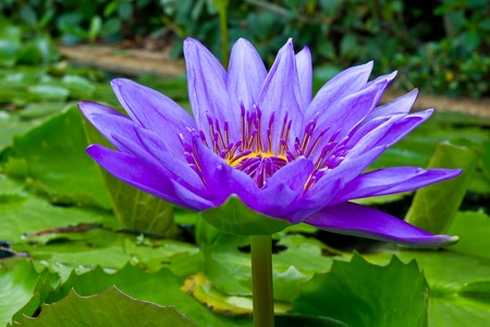 blooming. purple: purple lotus in pond