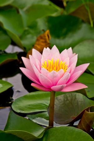 lirio de agua: rosado nenúfar en estanque