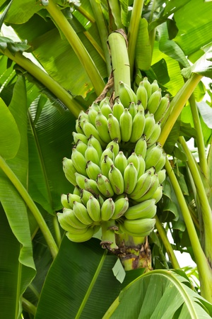 green young banana photo