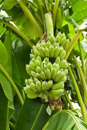 groene jonge banaan