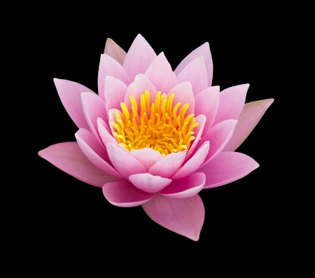 purple lotus: pink water lily isolated
