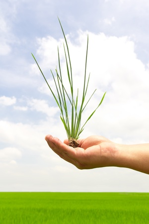 green grass in hand on paddy field