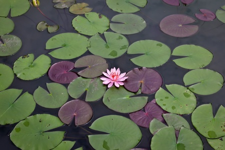 water lily: pink water lily and leaf in pond