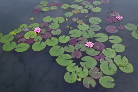 aquatic plant: pink water lily and leaf in pond
