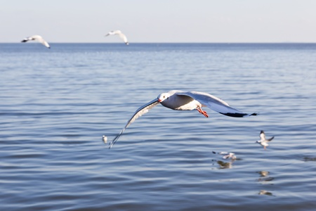 wingspread: seagull flying on the sea Stock Photo