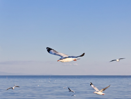 wingspread: seagull flying on blue sky and sea