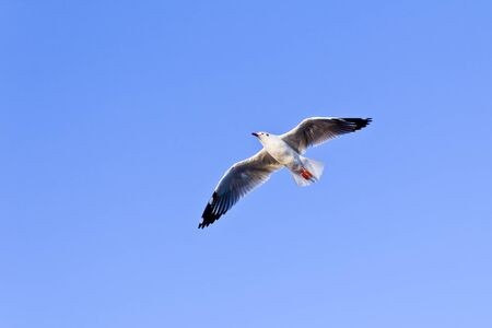 wingspread: seagull flying on blue sky