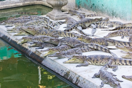 young crocodiles resting photo
