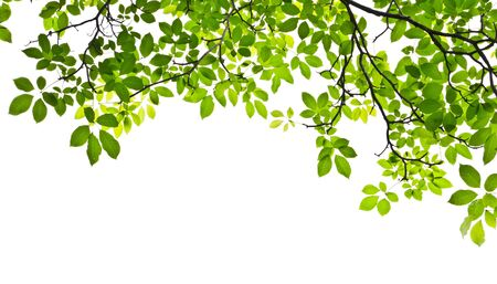 rama: hoja verde aislado sobre fondo blanco