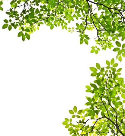rama: hoja verde sobre fondo blanco