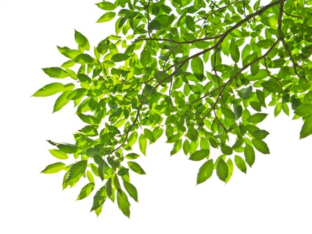 tree branches: leaf isolated on white background