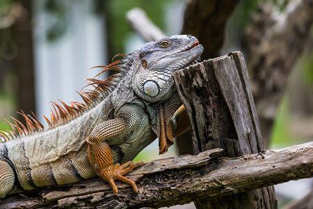species of creeper: iguana on the wood log