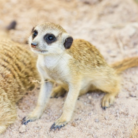 adapted: portrait of meercat