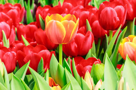 beautiful red tulips close up: orange and red tulip Stock Photo