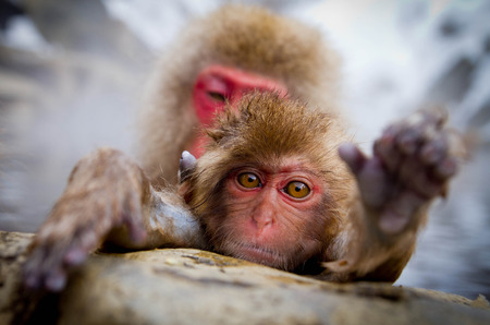 Closed up monkey in hot spring