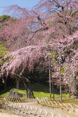 Cherry blossom in Japanese park