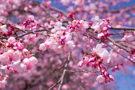 Cherry blossoms in pink colour